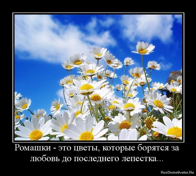 http://www.rusdemotivator.ru/uploads/posts/2010-02/1266402134_922143_romashki-eto-tsvetyi-kotoryie-boryatsya-za-lyubov-do-poslednego-lepestka.jpg